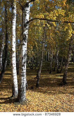 In A Gold Birch Grove. Autumn Landscape