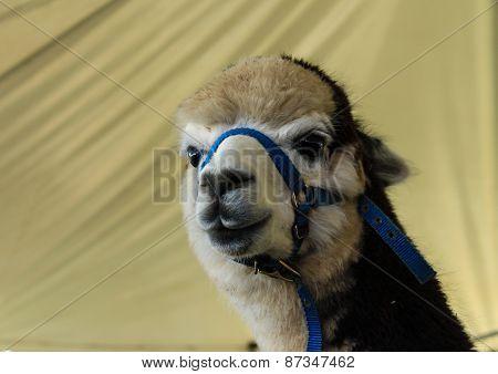 Alpaca llama headshot
