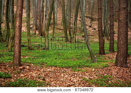 Spring Flowering Forest In Greenery, Nature Background