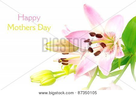 Bright Pink Lily Flower, Blossom And Buds Isolated On White