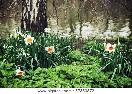 White Daffodils, Nettle, And Birch On The Lake Shore