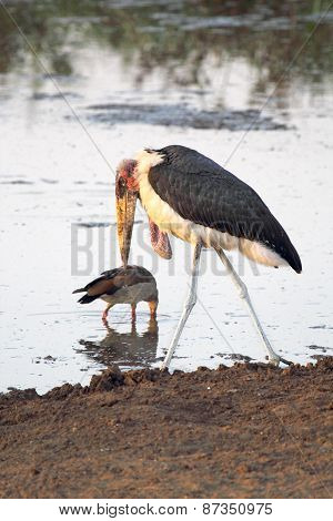 Marabou Stork Walking In The Shallow Water