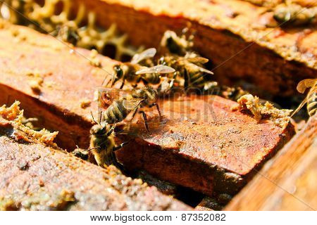 Close Up View Of The Working Bees On Honeycomb.