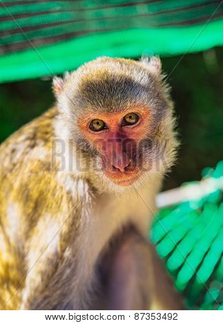 Young Brown Monkey In Vietnam