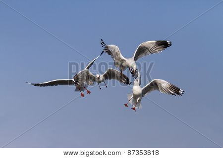 Seagull Show Action On Sky