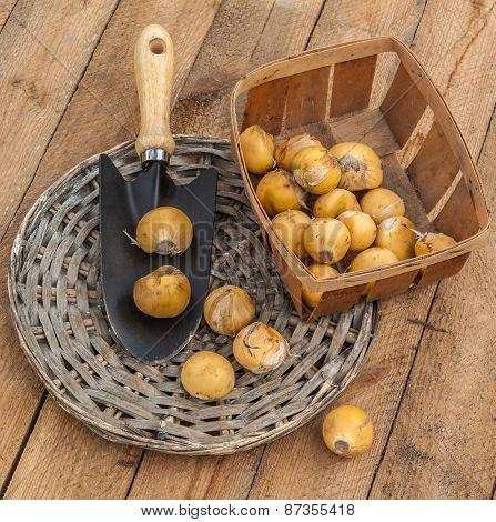 Bulbs Decorative Bow And Garden Shovel On A Wooden Table