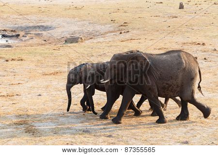 Herd Of African Elephants Drinking At A Muddy Waterhole