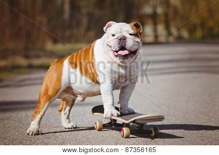 english bulldog on a skateboard