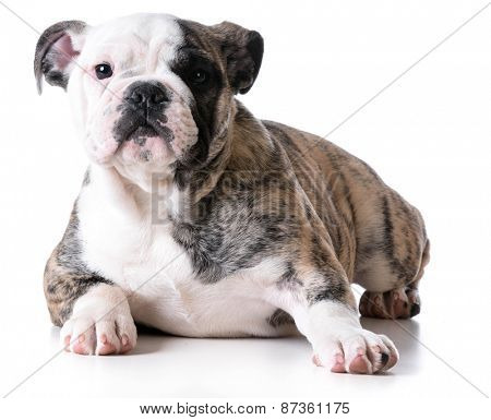 bulldog puppy looking at viewer isolated on white