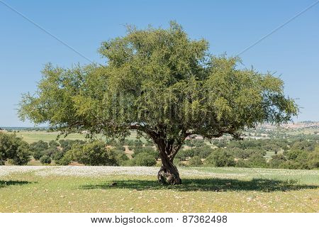 Beautiful Argan Tree