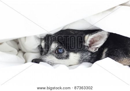 Dog Chihuahua Hiding Under The Quilt