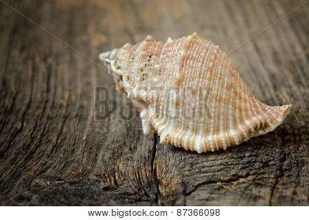 Seashell Isolated On A Wooden Background