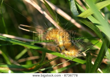 Yellow Bear Caterpillar