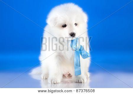 Image Of Whelp Samoyed Breed