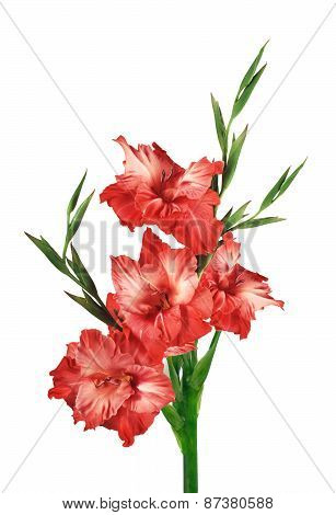 Red Gladiolus Isolated On White