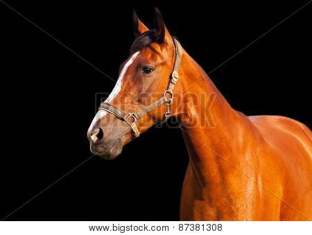 Portrait Of Bay Horse On A Black Background