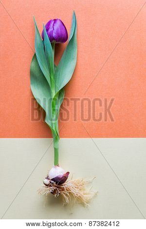 A Single Magenta  Tulip Whole With Bulb And Roots. Bicolor Textured Paper Background