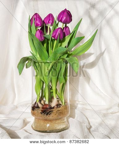 Magenta Tulips Growing In Water In A Glass Vase - Bulbs And Roots In Full View