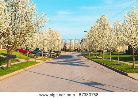Street In An American City With Spring Blossom Trees.