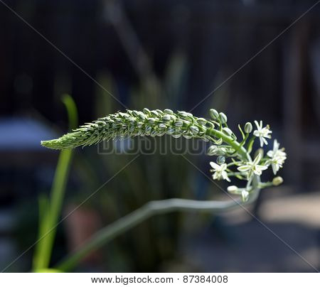 Pregnant Onions, Sea-onion, False Sea Onion, Albuca Bracteata