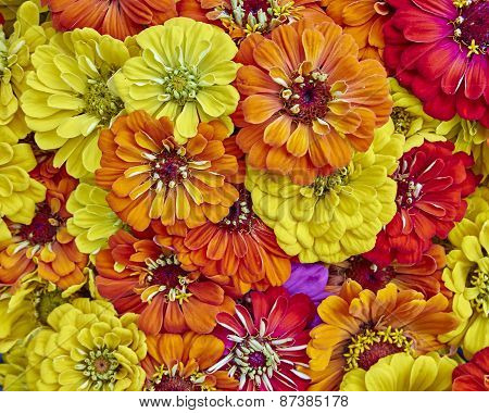 colorful zinia flowers closeup natural background