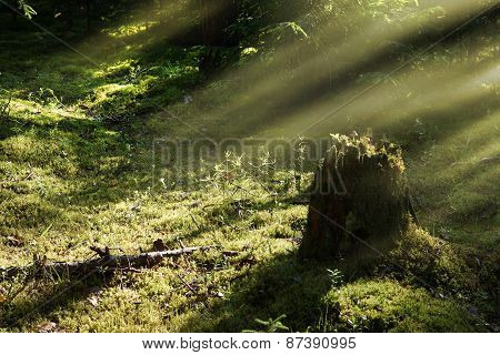 a tree stump in the forest with mushrooms, the rays of the Sun