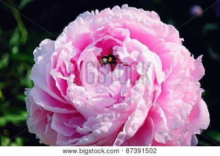 Bumblebee on a Pink Peony Flower