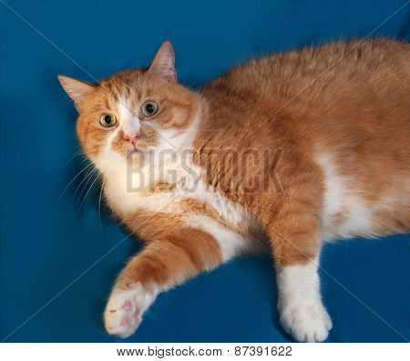 Thick Red And White Cat Lies On Blue