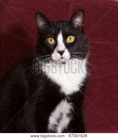 Black And White Cat Sitting On Sofa