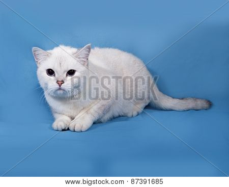 White Cat Scottish Straight Lies On Blue