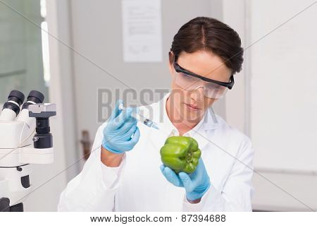Scientist working attentively with green pepper in laboratory