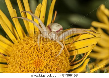 Crab spider on yellow flower macro