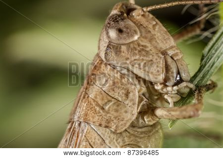 Gray grasshoper eating grass. Real macro