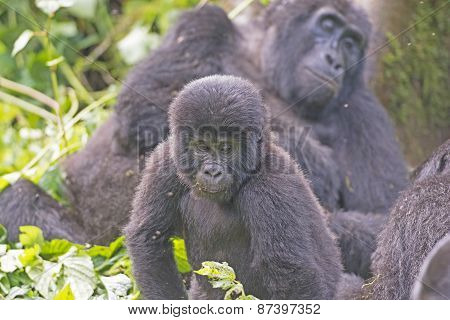 Young Mountain Gorilla In Its Family Group In The Cloud Forest