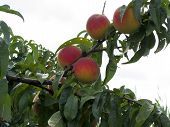 Постер, плакат: Red Peaches On Tree Branches