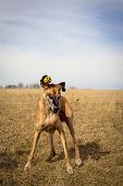 image of great dane  - Silly great Dane with yellow ball on right ear - JPG