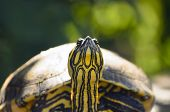 image of terrapin turtle  - The red - JPG
