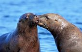 picture of sea lion  - Two California Sea Lions from Vancouver Island - JPG