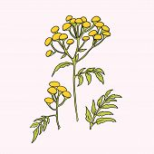 stock photo of tansy  - Beautiful vector illustration with nice tansy flower - JPG