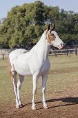 image of animal eyes  - Horse blue eyes white brown closeup of equestrian animal - JPG
