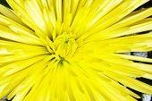 image of mums  - Bright Yellow Spider Mum - JPG