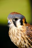 foto of small-hawk  - Profile of an American Kestrel with cute eyes - JPG