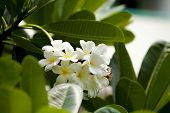stock photo of champa  - White And Yellow Frangipani Flowers With Leaves In Background - JPG
