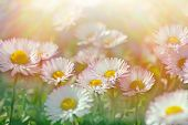 stock photo of daisy flower  - Daisy flowers  - JPG