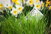 foto of narcissi  - Dollar banknote growing in green grass - JPG