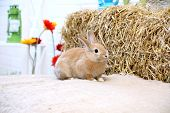 picture of dwarf rabbit  - Rabbit on a hay stack with flowers  - JPG