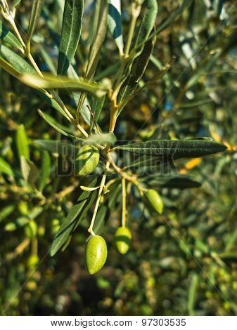 Closeup of a green olives on an olive tree at morning sun in Sithonia