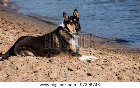 Smooth Collie purebred dog