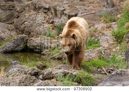 Large Brown Bear In Nature