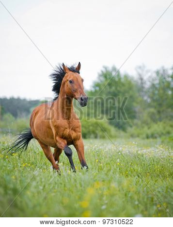Purebred Young Stallion Running